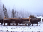 Calves at feedbunk in January.  We have separated them at 6 month of age and are graining them for a few months along wi