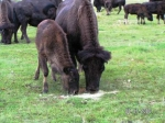 Mamma showing baby calf what grain is-we don't grain anymore but the ol' gal remembers.  Calf wasn't interested-walke