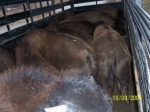 backside of 6 month olds in trailer loaded for home place